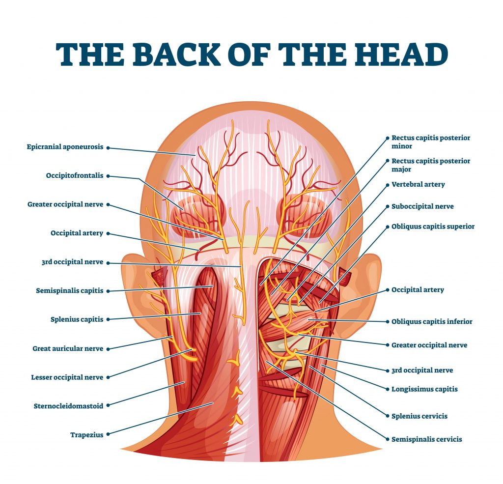 Muscles in back of the neck